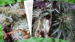 Sneak Peek at Beauty of Cannabis Book by Spurs Broken